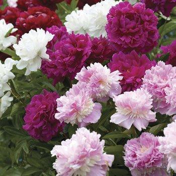 Фото пионов - красивейших цветов
