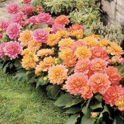 Фото садовой композиции из георгин