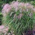 Мискантус - декоративная трава - фото