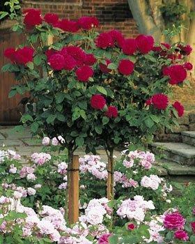 Фото штамбовых роз